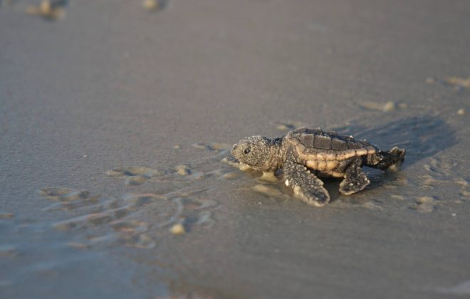 Sea Turtles on Hilton Head Island