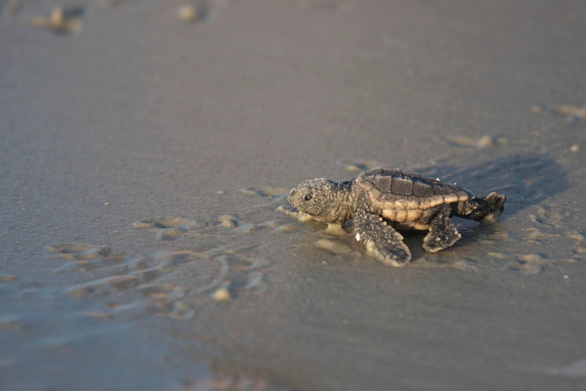 Sea Turtles on Hilton Head Island
